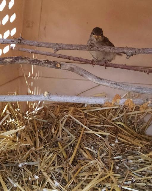 Baby sparrow sitting on a twig