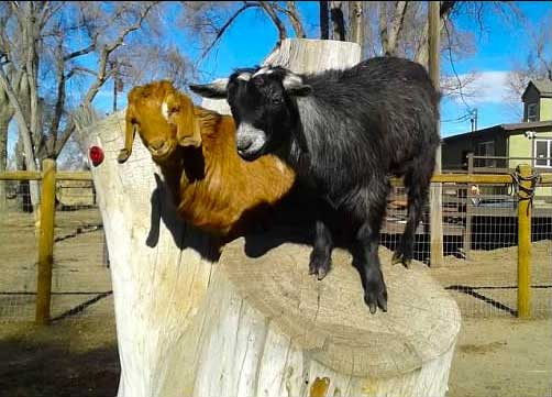 Skyfall and Augie the goats