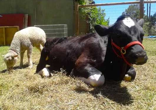 Bodhi our rescued cow