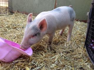 Daisy the piglet