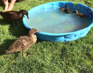 Baby ducks Ash, Willow and Juniper