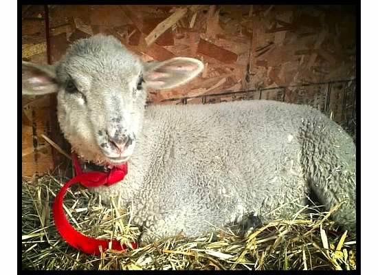 Pearl the lamb
