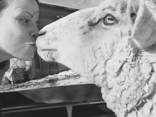 Poppy the lamb kissing a volunteer
