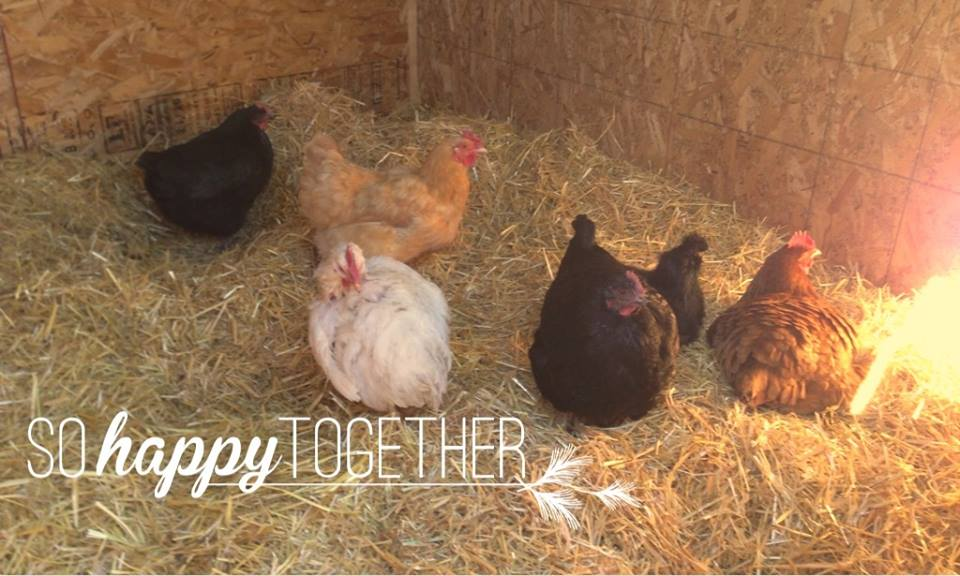 The chickens so happy together